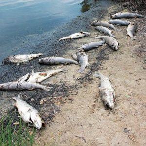 GENE M. MARCHAND/ENTERPRISE Sixteen dead striped bass were among dead fish found on the shore of Little Pond at the intersection of Jericho Path and Grand Avenue yesterday morning.